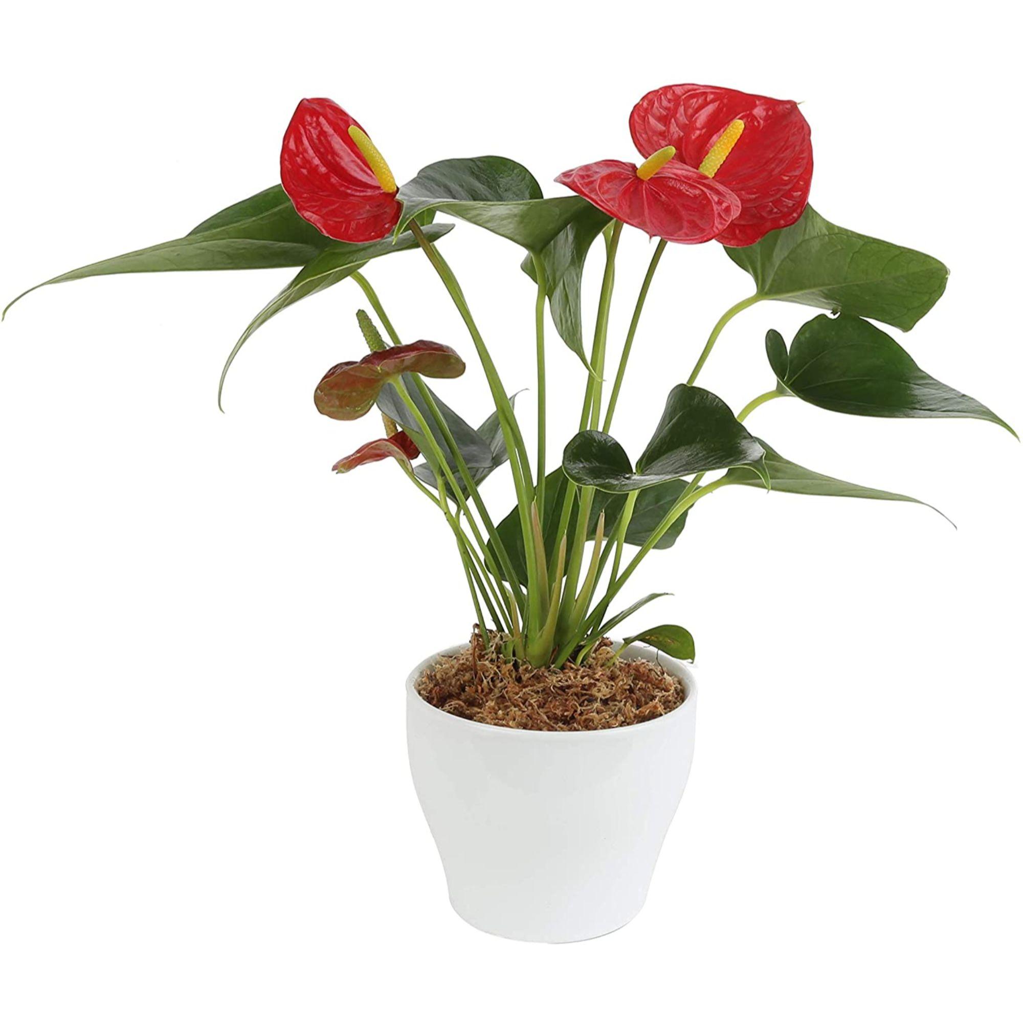 Plante medicinale de origine: flori de interior cu proprietăți medicinale - Flori
