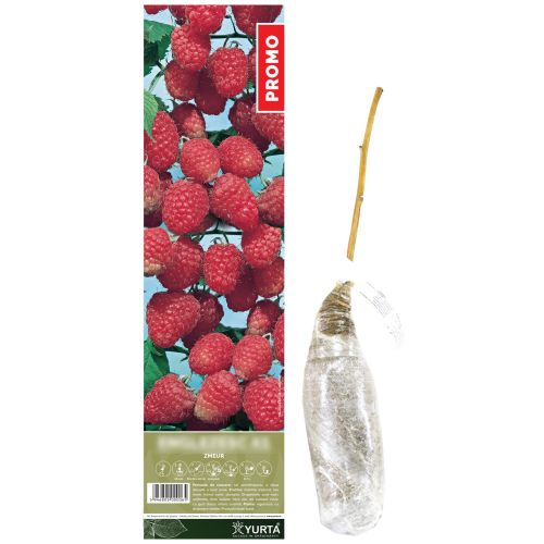 Arbust fructifer zmeur, yurta, 40 cm