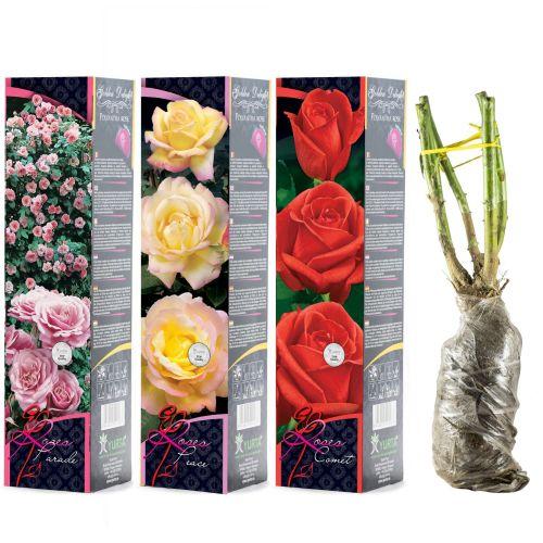 Butasi trandafiri altoiti, yurta, top, 40 cm