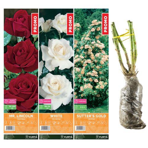 Butasi trandafiri altoiti, yurta, 40 cm