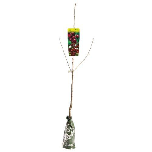 Pomi fructiferi visin altoit yurta