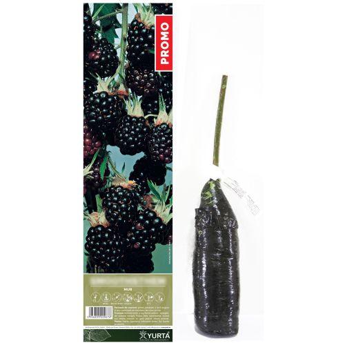Arbust fructifer mur 30-50 cm