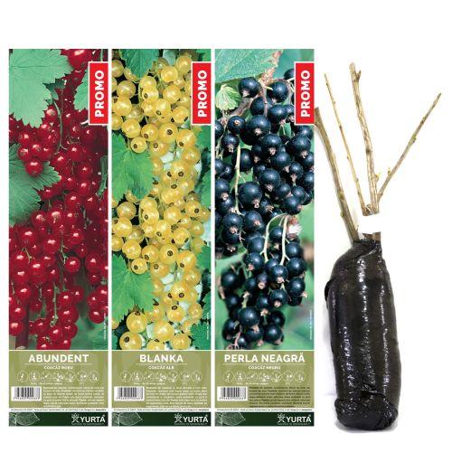 Arbust fructifer coacaz 30-50 cm