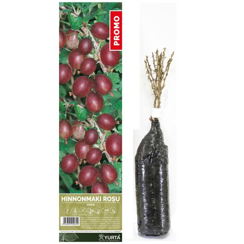 Arbusti fructiferi agris 30-50 cm
