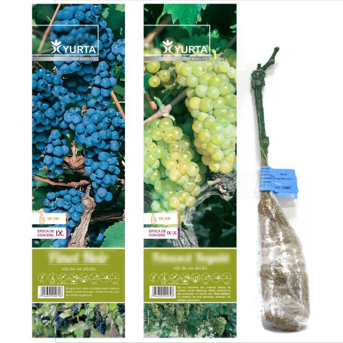 Butasi struguri de vin 30-50 cm
