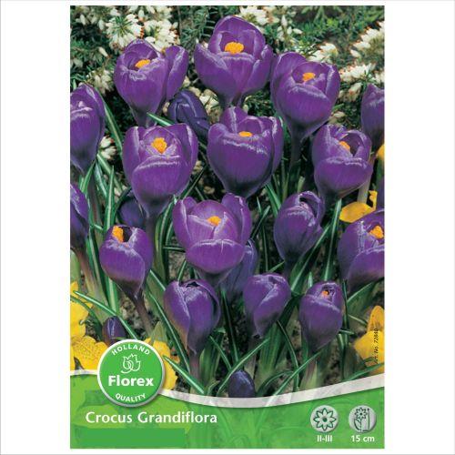 Bulbi brandusa albastre Grandiflora