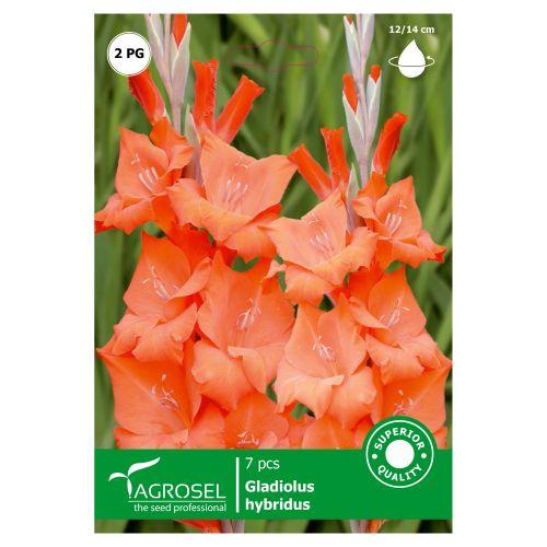 Bulbi gladiole portocaliu, agrosel, 7 buc