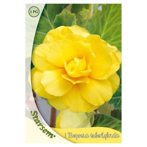 Bulb begonia galben, starsem, 1 buc