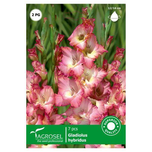 Bulbi gladiole bicolore, Cheops, agrosel, 7buc