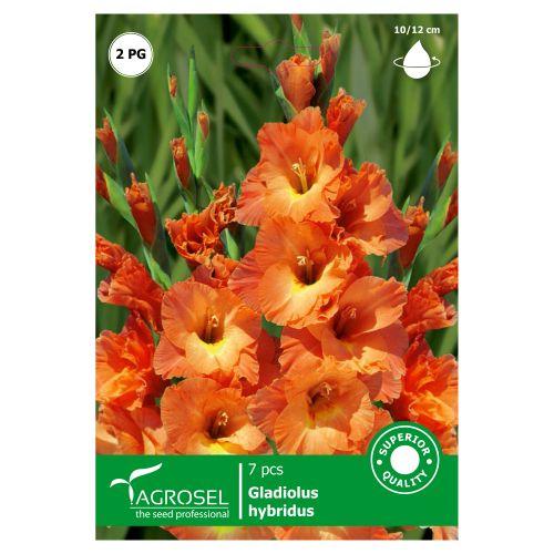 Bulbi gladiole bicolore, Savan, agrosel, 7buc