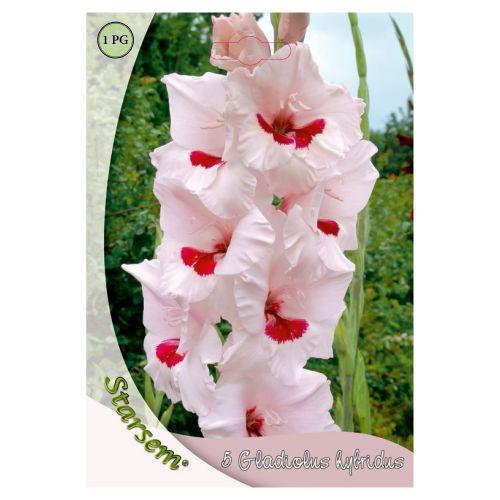 Bulbi gladiole bicolore, starsem, 5 buc