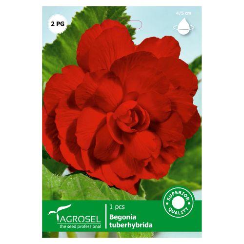 Bulb begonia rosu, agrosel, 1 buc
