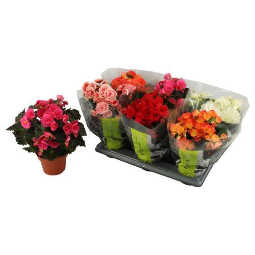 Begonia, mix diverse culori