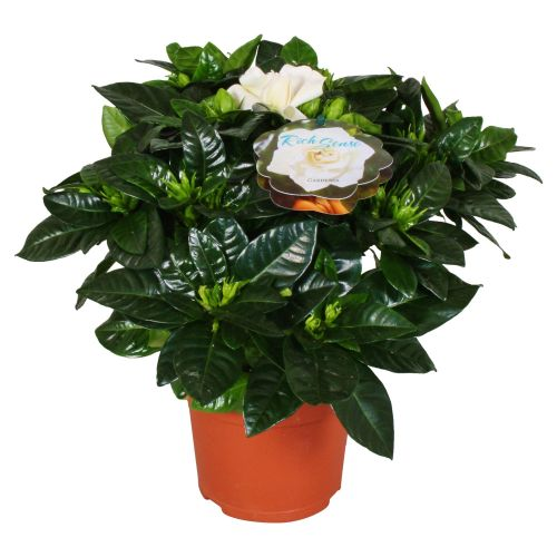 Gardenia jasminoides h 20 - 25 cm