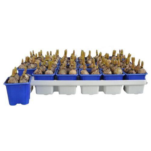 Bulbi in ghiveci de Muscari, albastrii