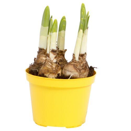 Narcisa, 'Tete a tete', in ghiveci, Ø12