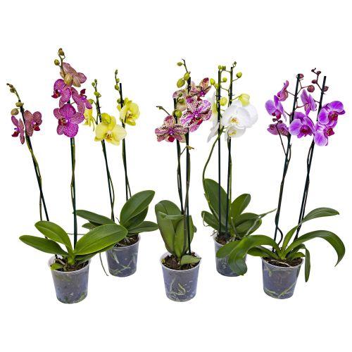 Phalaenopsis (Orhidee) 2 tije, 14+