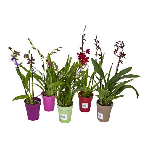 Orhidee 2 tije, diverse culori h 50 cm
