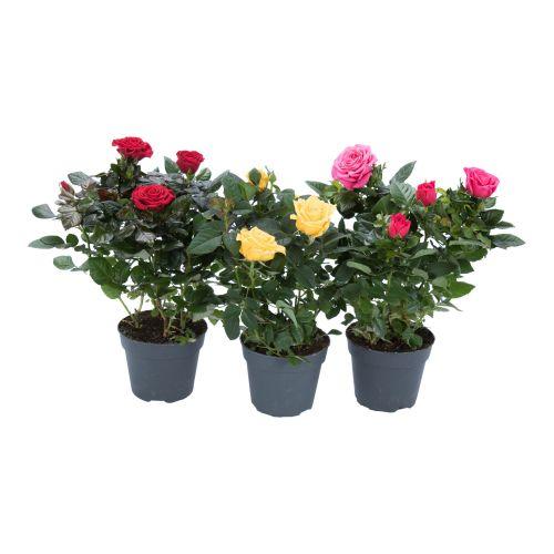 Trandafiri lotz bellisima, h 26 - 31 cm