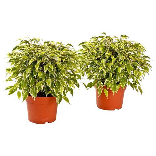 Ficus benjing kinky, inaltime 25 - 35 cm