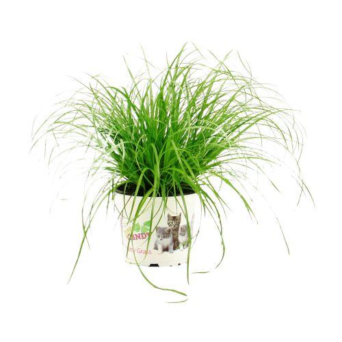 Cyperus zumula, ghiveci Ø12